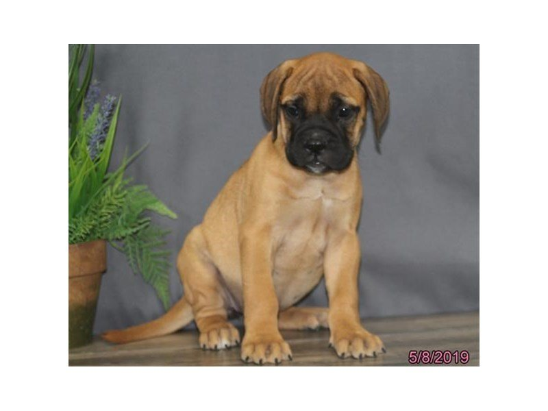Bullmastiff-Female-Red Fawn-2351475-Petland Lewis Center