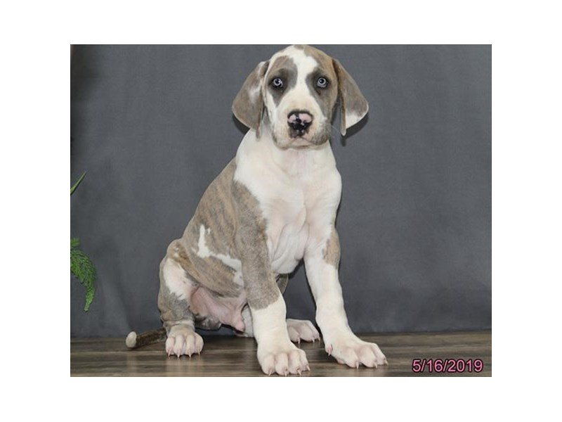 Great Dane-Male-Harlequin-2356875-Petland Lewis Center