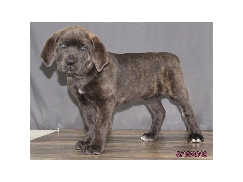 Cane Corso-Female-Blue Brindle-2356893-Petland Lewis Center