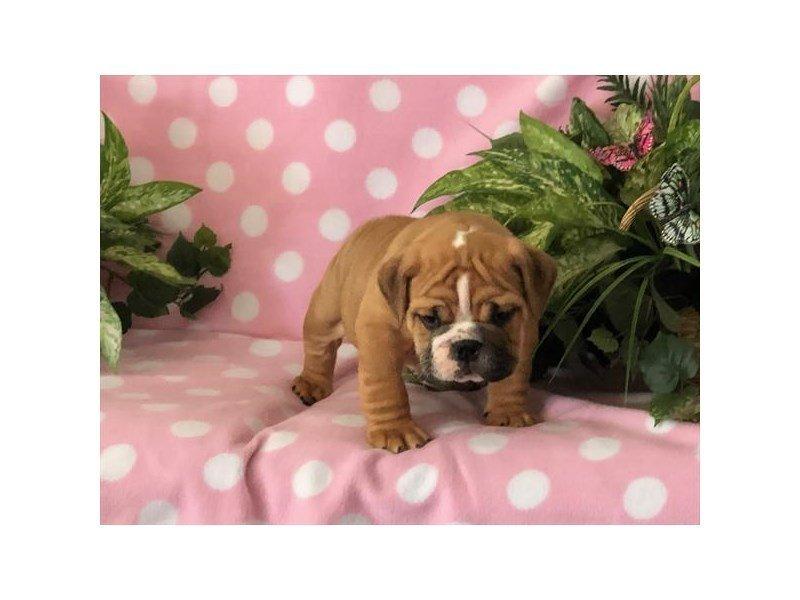 English Bulldog-Male-Red-2340530-Petland Lewis Center