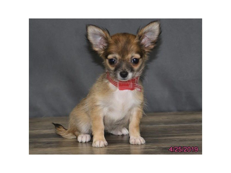 Chihuahua-Female-Fawn-2340532-Petland Lewis Center
