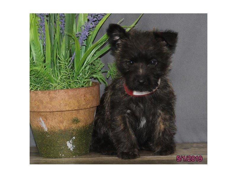 Cairn Terrier-Female-Brindle-2346272-Petland Lewis Center