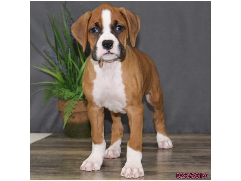 Boxer-Female-fn/wh-2362434-Petland Lewis Center