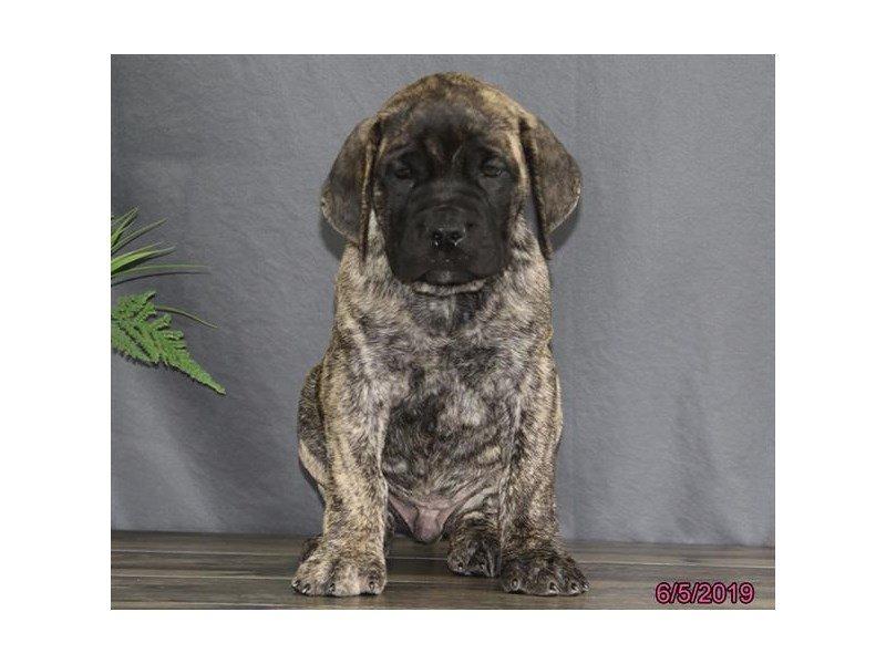 English Mastiff-Male-Brindle-2373393-Petland Lewis Center