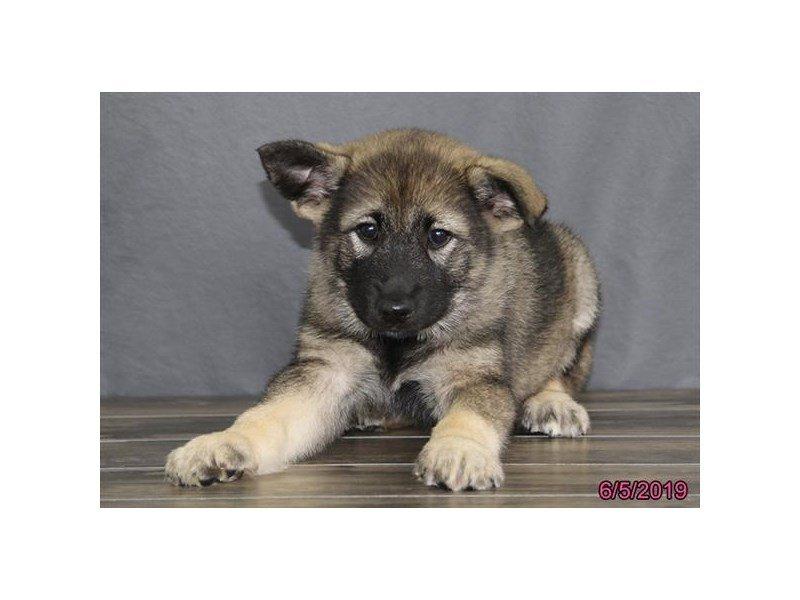 Norwegian Elkhound-Female-Black / Silver-2373395-Petland Lewis Center