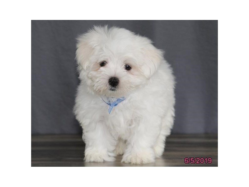 Maltese-Male-White-2373435-Petland Lewis Center