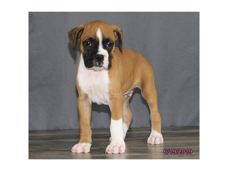 Boxer-Male-Fawn-2384882-Petland Lewis Center