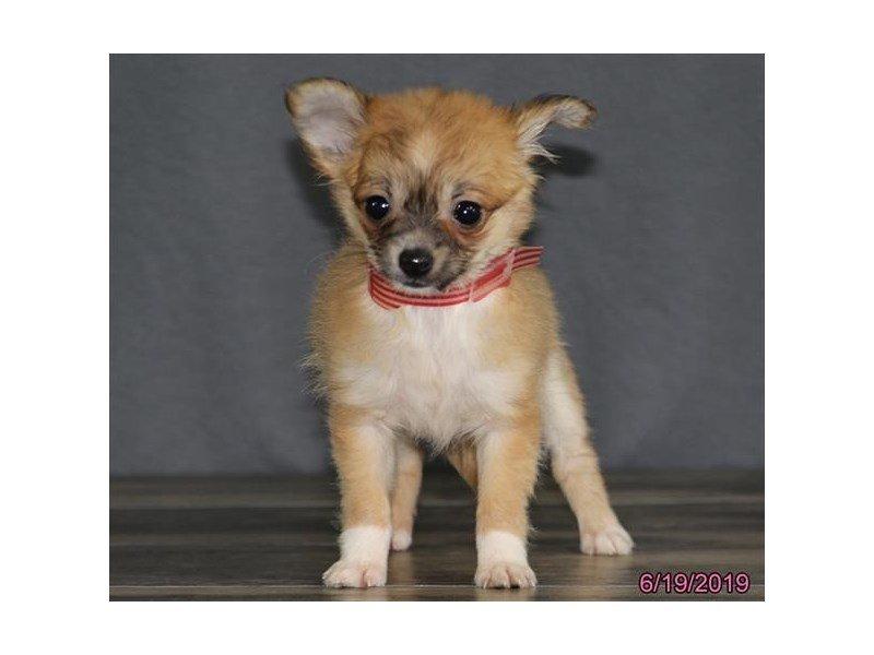 Chihuahua-Female-Fawn-2384883-Petland Lewis Center