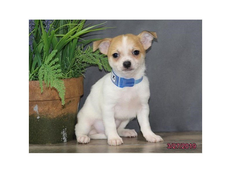Chihuahua-Male-White-2319424-Petland Lewis Center