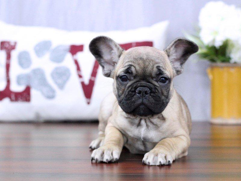 French Bulldog-Female-Fawn-2334865-Petland Lewis Center