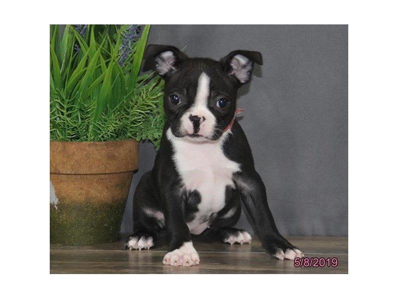 Boston Terrier-Female-Black / White-2351482-Petland Lewis Center