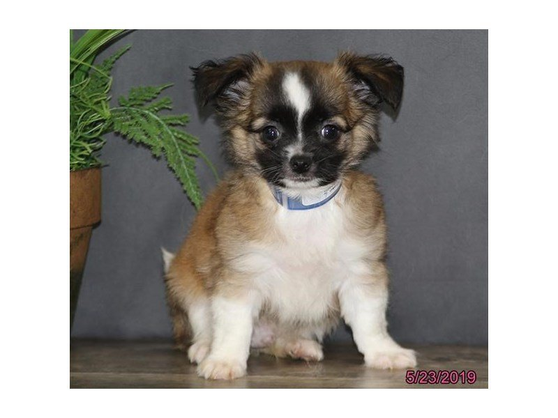 Chihuahua-Male-Fawn-2362324-Petland Lewis Center