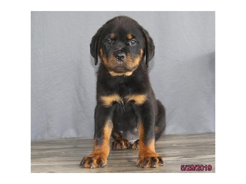 Rottweiler-Male-Black / Tan-2367289-Petland Lewis Center