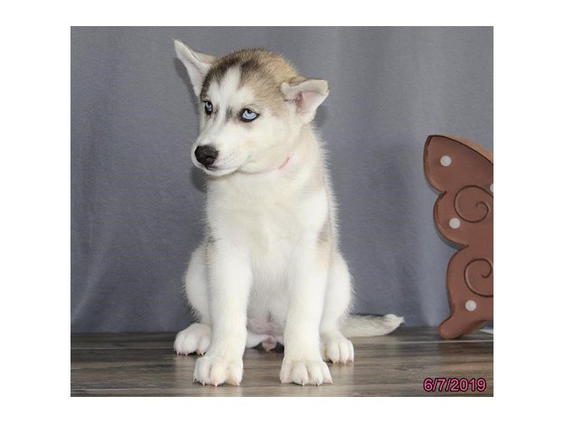 Siberian Husky-Female-Gray / White-2373400-Petland Lewis Center
