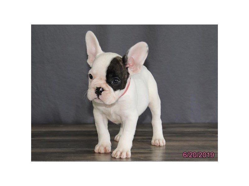 French Bulldog-Male-Brindle-2384872-Petland Lewis Center