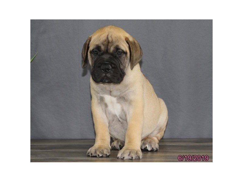 Bullmastiff-DOG-Male-Red Fawn-2384873-Petland Lewis Center