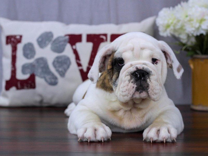 English Bulldog-Male-White-2384878-Petland Lewis Center