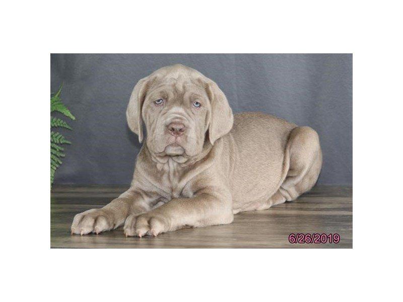 Neapolitan Mastiff-Female-Tawny-2391273-Petland Lewis Center