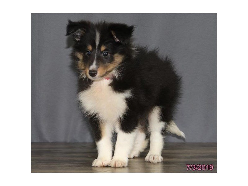 Shetland Sheepdog-Female-Black / White-2396703-Petland Lewis Center