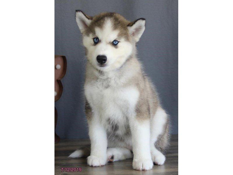 Siberian Husky-Female-Gray / White-2402812-Petland Lewis Center
