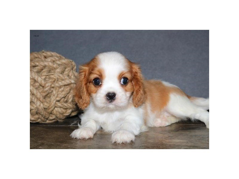 Cavalier King Charles Spaniel-Female-Blenheim-2408808-Petland Lewis Center