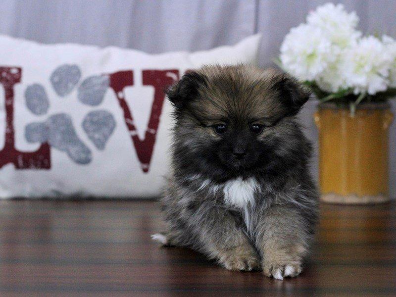 Pomeranian-Female-Sable-2351478-Petland Lewis Center