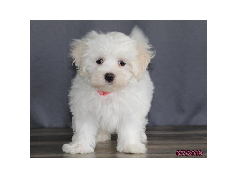 Coton De Tulear-Male-White-2373403-Petland Lewis Center