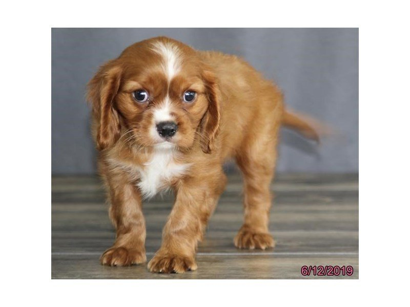 Cavalier King Charles Spaniel-Male-Ruby-2378820-Petland Lewis Center