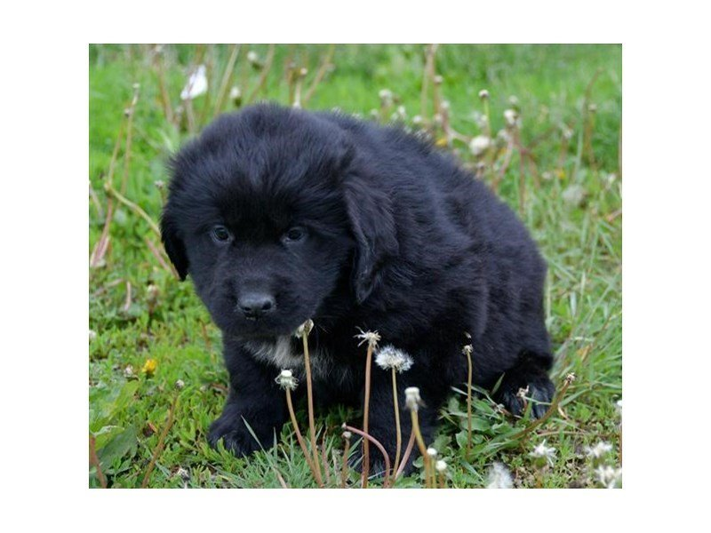 Newfoundland-Female-Black-2378841-Petland Lewis Center