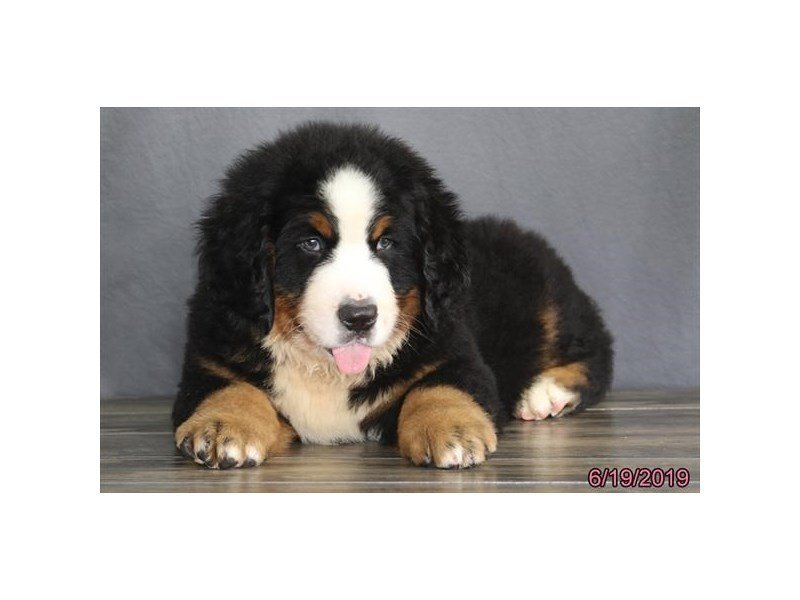 Bernese Mountain Dog-Male-Black Rust / White-2384876-Petland Lewis Center