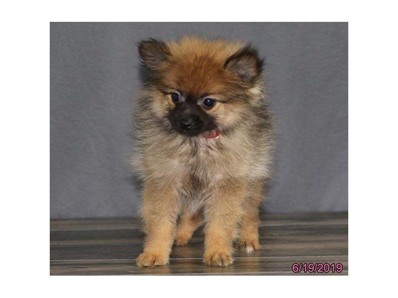 Pomeranian-Female-Fawn-2384884-Petland Lewis Center
