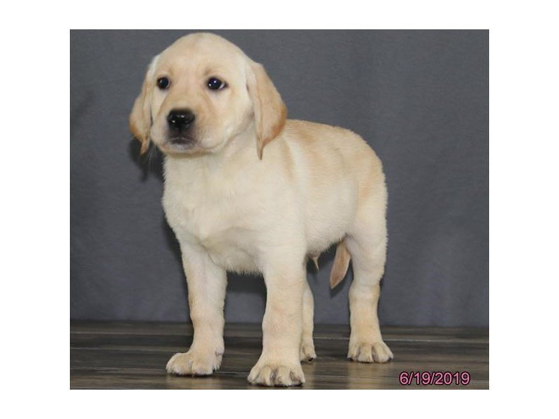 Labrador Retriever-Male-Yellow-2384925-Petland Lewis Center