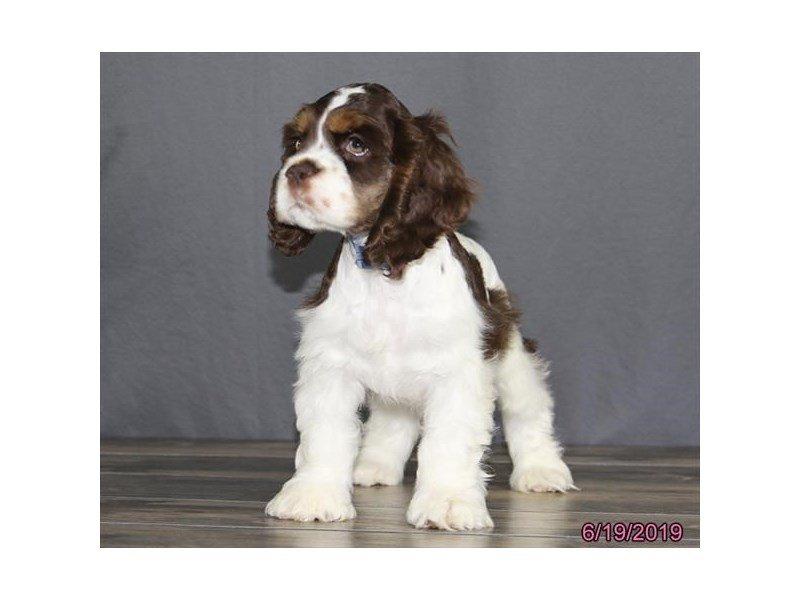 Cocker Spaniel-Male-Chocolate / White-2384939-Petland Lewis Center