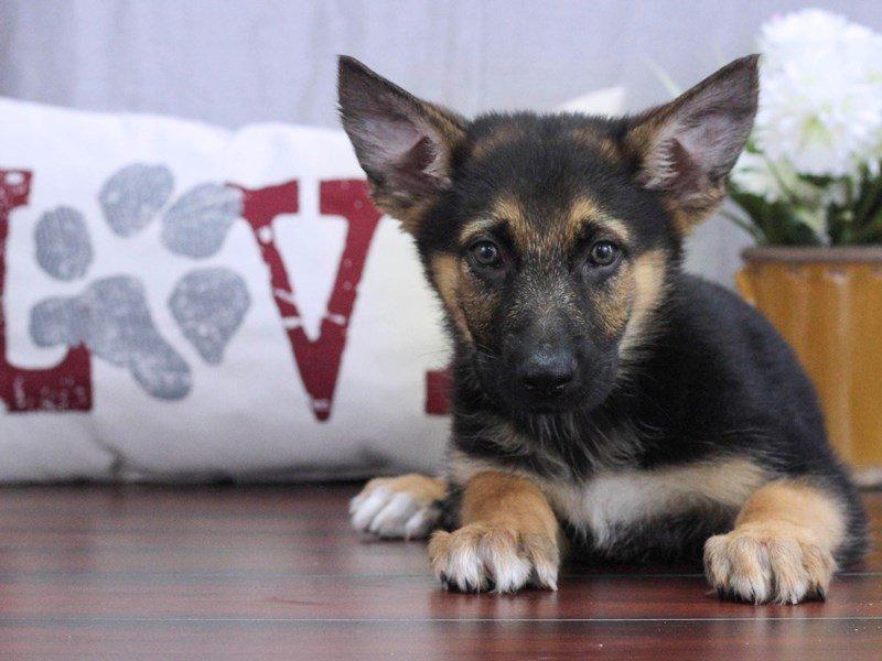German Shepherd-DOG-Male-Black / Tan-2391275-Petland Lewis Center