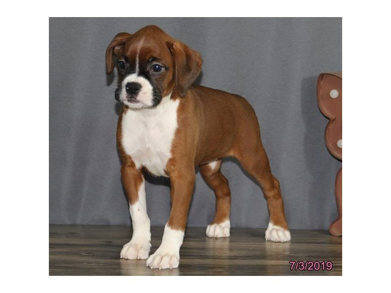 Boxer-Female-Mahogany / White-2396730-Petland Lewis Center