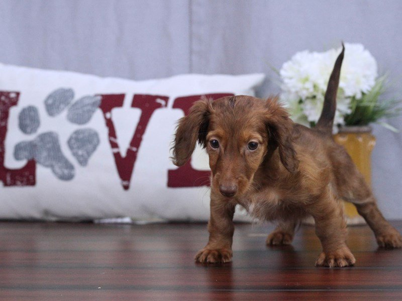 Dachshund-DOG-Male-RED-2402361-Petland Lewis Center