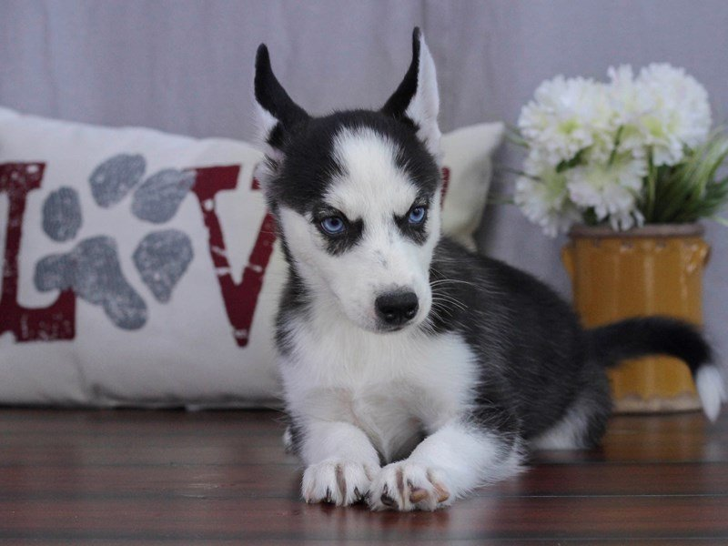 Siberian Husky-Female-Black & White-2402617-Petland Lewis Center