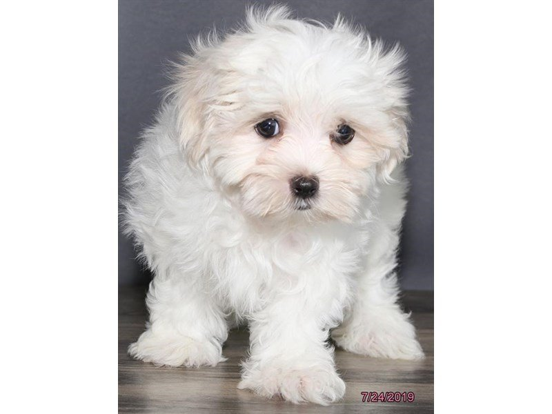 Maltese-Female-White-2414790-Petland Lewis Center