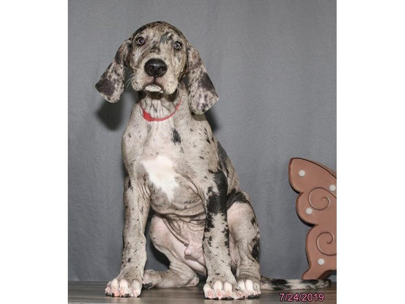 Great Dane-Male-Merle-2414987-Petland Lewis Center