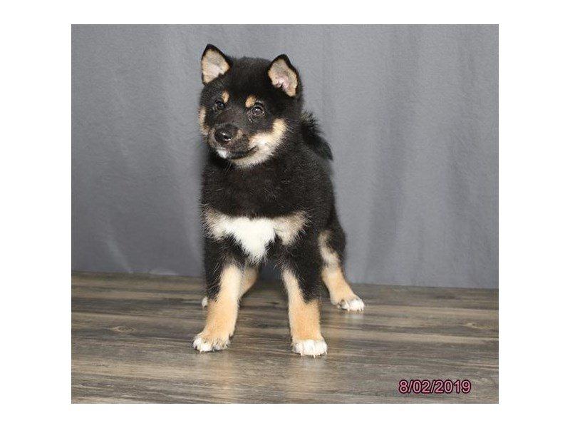 Shiba Inu-DOG-Male-Black-2421156-Petland Lewis Center