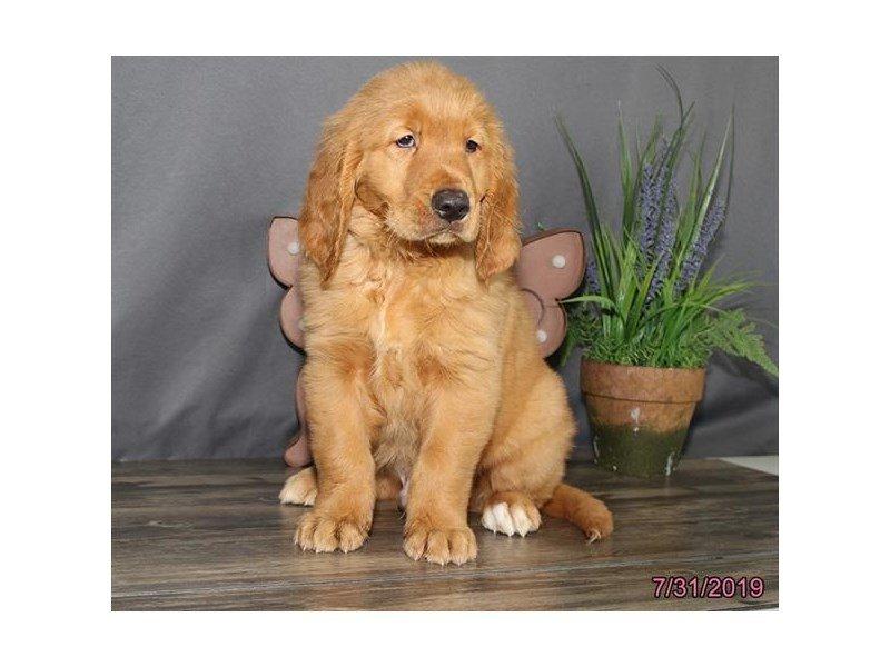 Golden Retriever-Male-Red-2421162-Petland Lewis Center