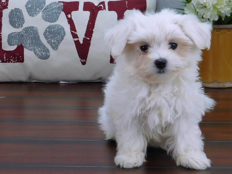 Maltese-DOG-Male-White-2426852-Petland Lewis Center