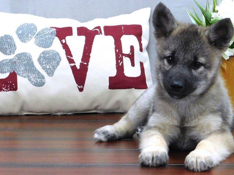 Norwegian Elkhound-Female-Black / Silver-2426849-Petland Lewis Center