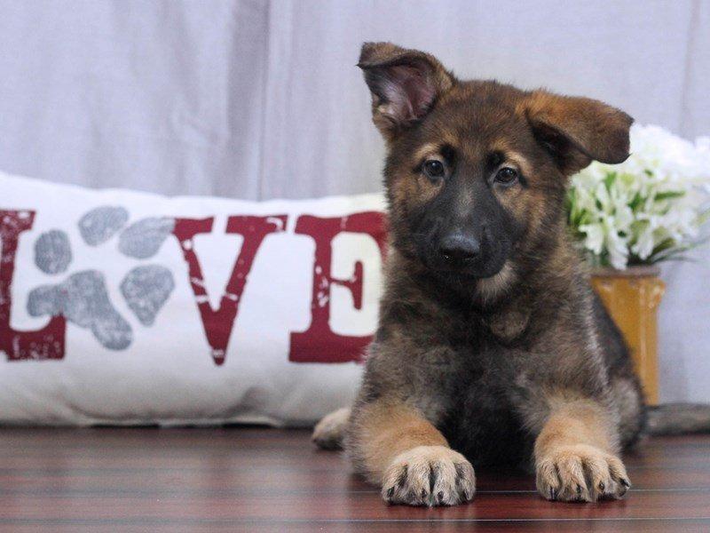 German Shepherd-Female-Black and Tan-2396522-Petland Lewis Center