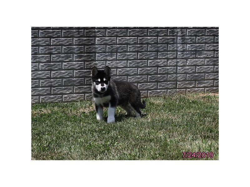 Alaskan Malamute-Male-Black / White-2414783-Petland Lewis Center