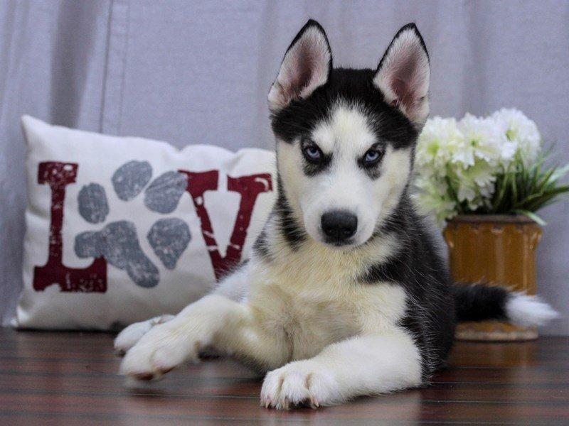 Siberian Husky-Male-Black & White-2414630-Petland Lewis Center