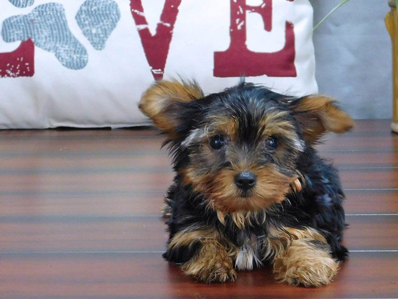 Yorkshire Terrier-DOG-Female-Black / Tan-2433297-Petland Lewis Center