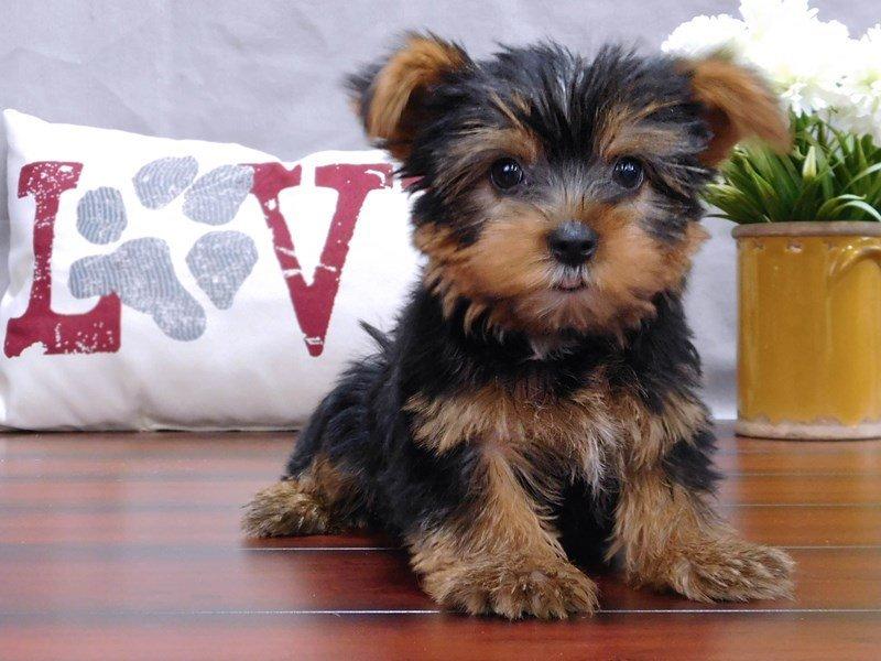 Yorkshire Terrier-Male-Black / Tan-2439349-Petland Lewis Center