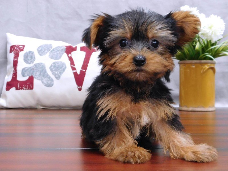 Yorkshire Terrier-Male-Black / Tan-2439351-Petland Lewis Center