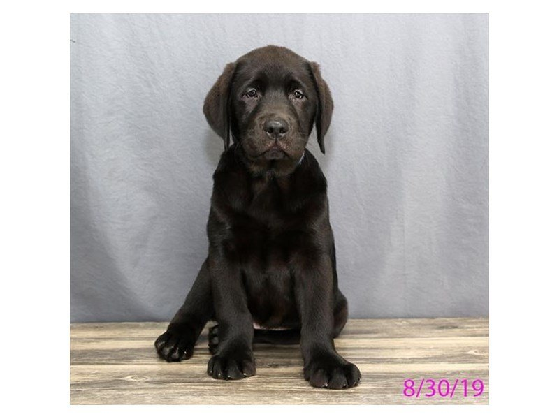 Labrador Retriever-Male-Black-2445118-Petland Lewis Center